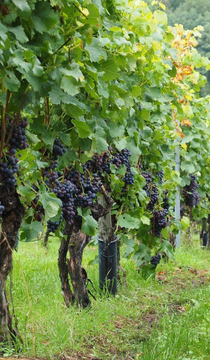 vineyard-694197_1920